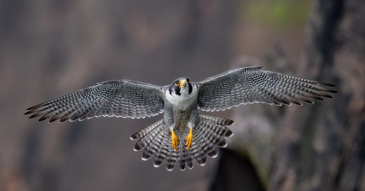 Protecting Peregrine Falcons
